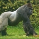 Silverback Gorilla shows off his muscles