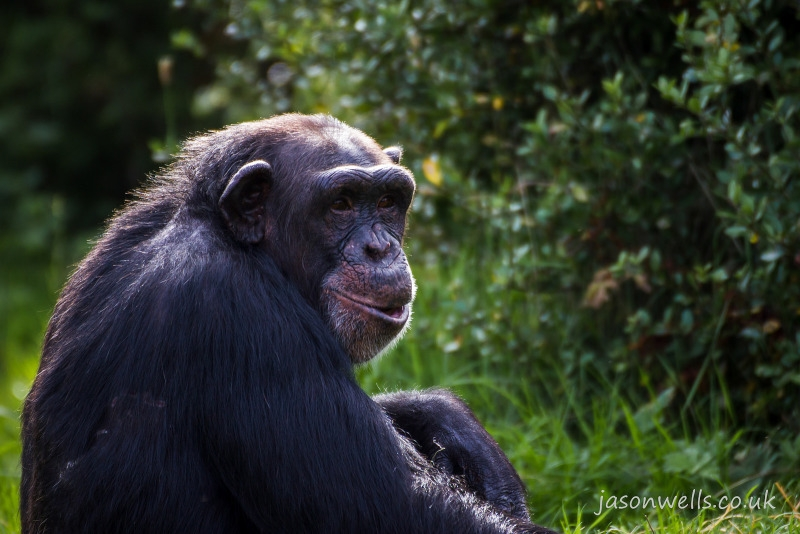 Thoughtful Chimpanzee at Chester zoo