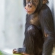 Cute young chimpanzee in Basel