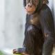 Cute young chimpanzee in Basel