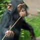 Baby-chimp-1