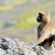 Ethiopia-Gelada-baboon-w-baby