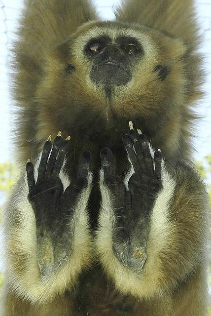 Gibbon-white-handed