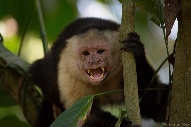 White-faced-Capuchin-2