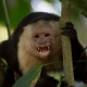 White-faced-Capuchin-2
