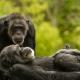 Chimpanzee-8