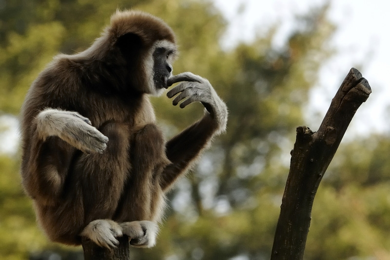 A Gibbon having a real thinking time