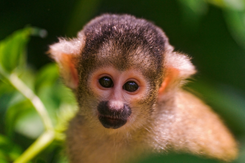 Cute and young squirrel monkey