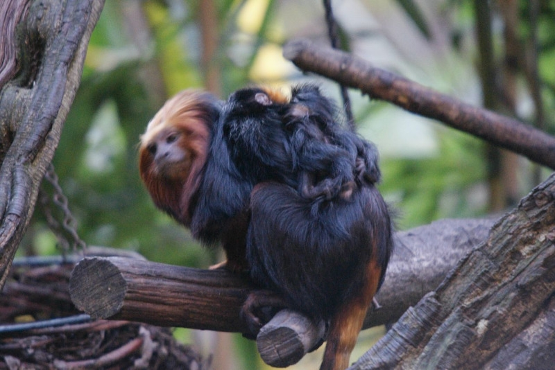 Look carefully and you will see there are two Tamarins in this picture