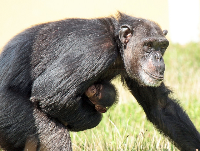 Chimpansee-Beekse-bergen-2
