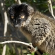 Common-Brown-Lemur