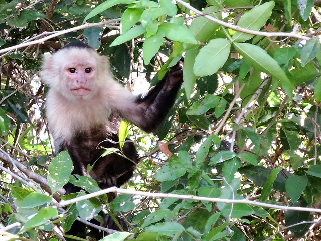 Capuchin-Monkey-In-Palo-Verde