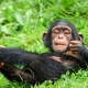 A young male chimpanzee of the Walter zoo having fun on the grass.