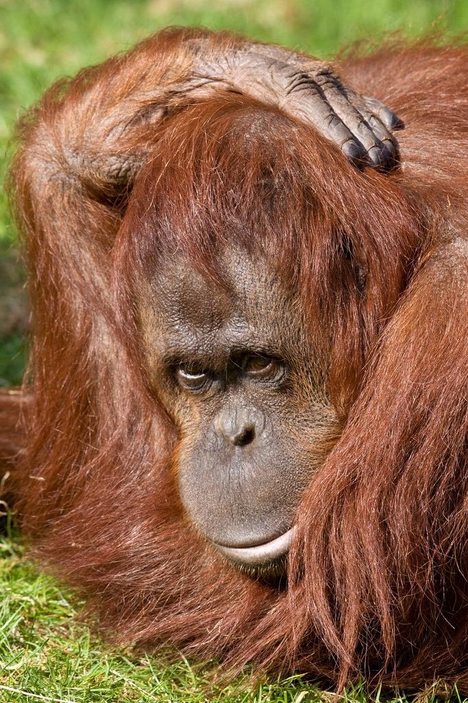 Bornean Orangutan posing for the camera
