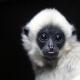 Baby-Gibbon