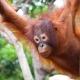 Orangutan-8
