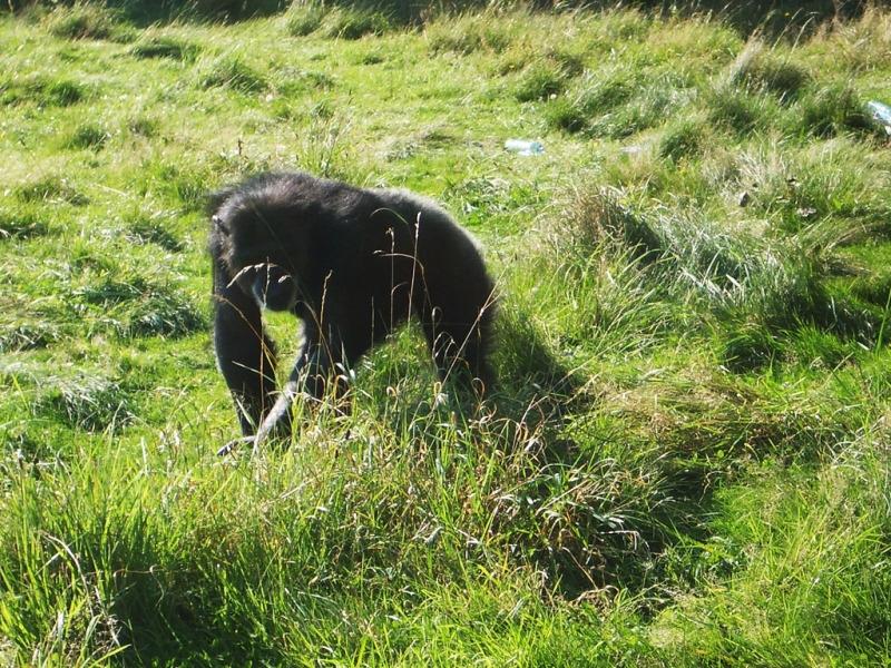 Chimpanzee at Monkey World in England