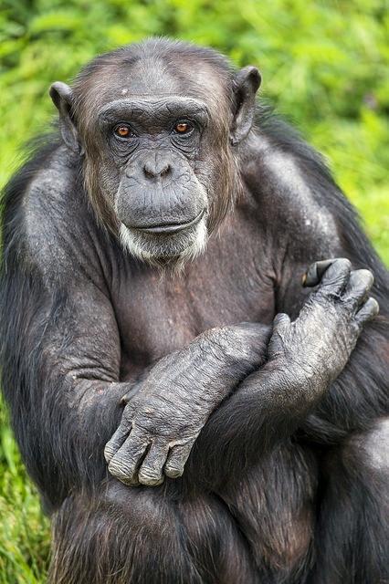 Old-chimpanzee-sitting