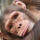 Chimp-3