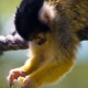 Squirrel-Monkey-eating-fruit