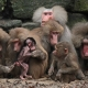 Group-of-Baboons