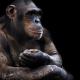 Chimp-Chimpanzee-Ape