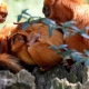 Baby-Golden-Lion-Tamarin-3