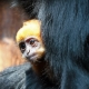 The Orange face of a Langur monkey