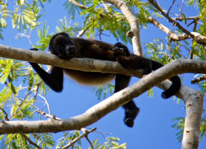 Howler Monkeyresting in a tree
