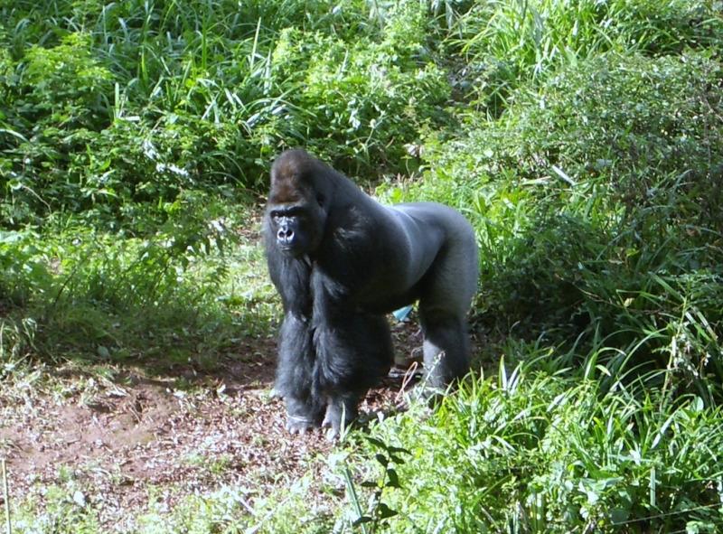 Silverback Gorilla in Paignton Zoo