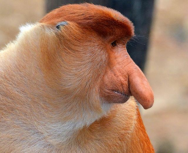Proboscis-Monkey-at-Labuk-Bay