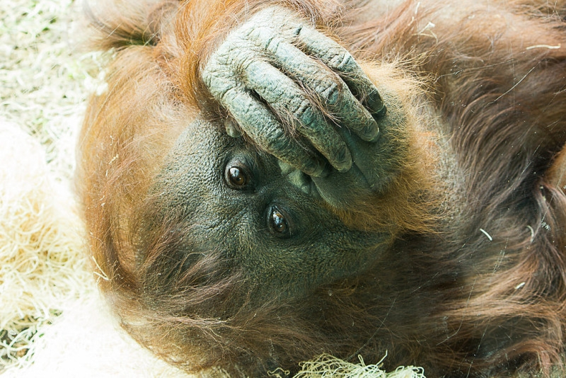 Embarrassed orangutan