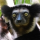 The Indri Indri Stare - Indris live in the rainforests of Eastern Madagascar.