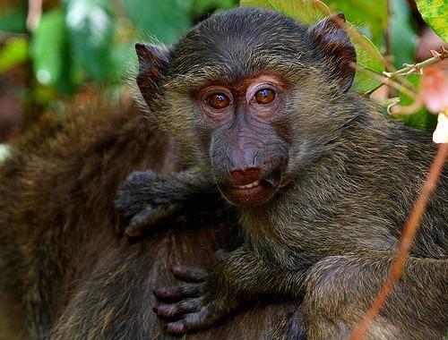 Baby Baboon in Tazmania