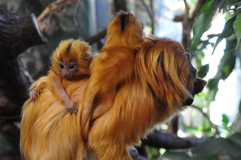 Golden Lion Tamarins Playing