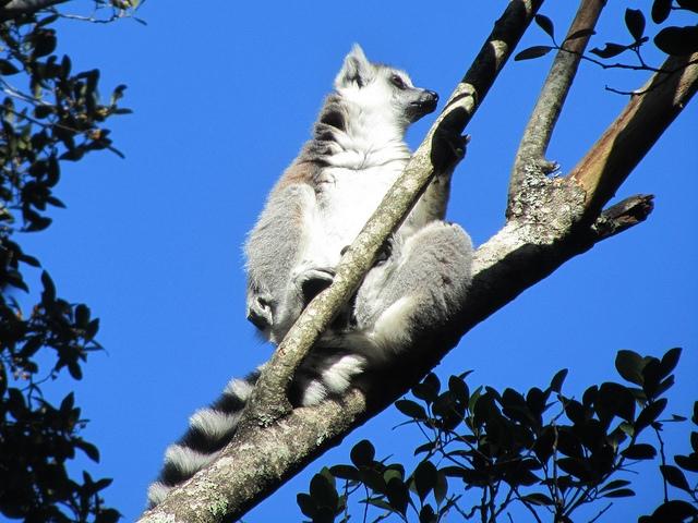 Ring-tailed-Lemur-2