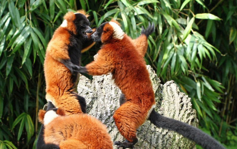 Lemurs play fighting on a rock