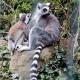 Two beautiful Lemurs on a rock