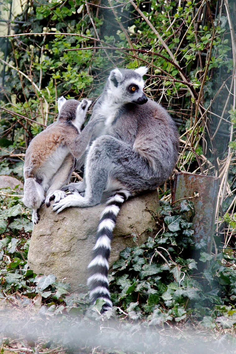 Two beautiful Lemurs on a rock