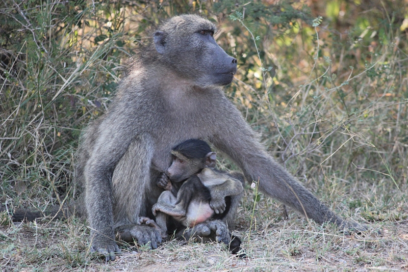 Baboon Mother and Child