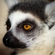 Ring-Tailed-Lemur-3