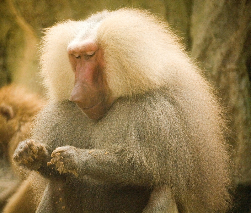 Baboon in Singapore zoo