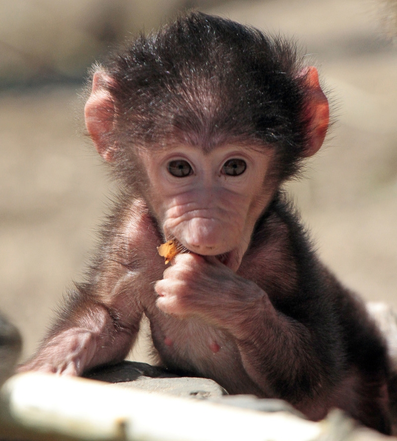 The cutest Baboon ever
