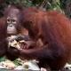 Orangutan-14