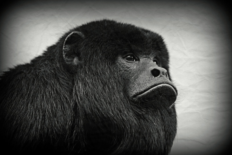 Black and white picture of Mojo the Black Howler Monkey