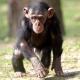 Baby-chimp