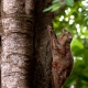 Flying-lemur-3