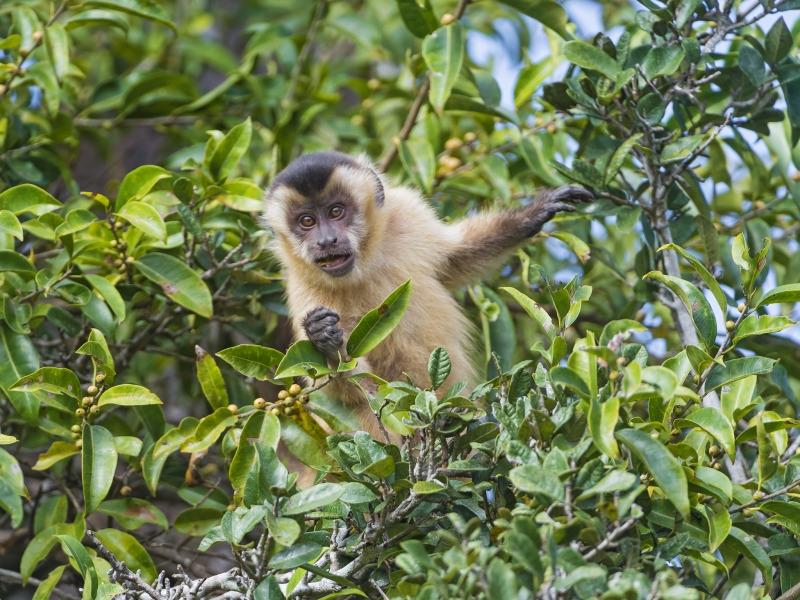 Capuchin monkey hiding a tree