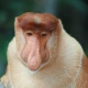 Male-Proboscis-Monkey-1
