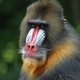 The staring Mandrill